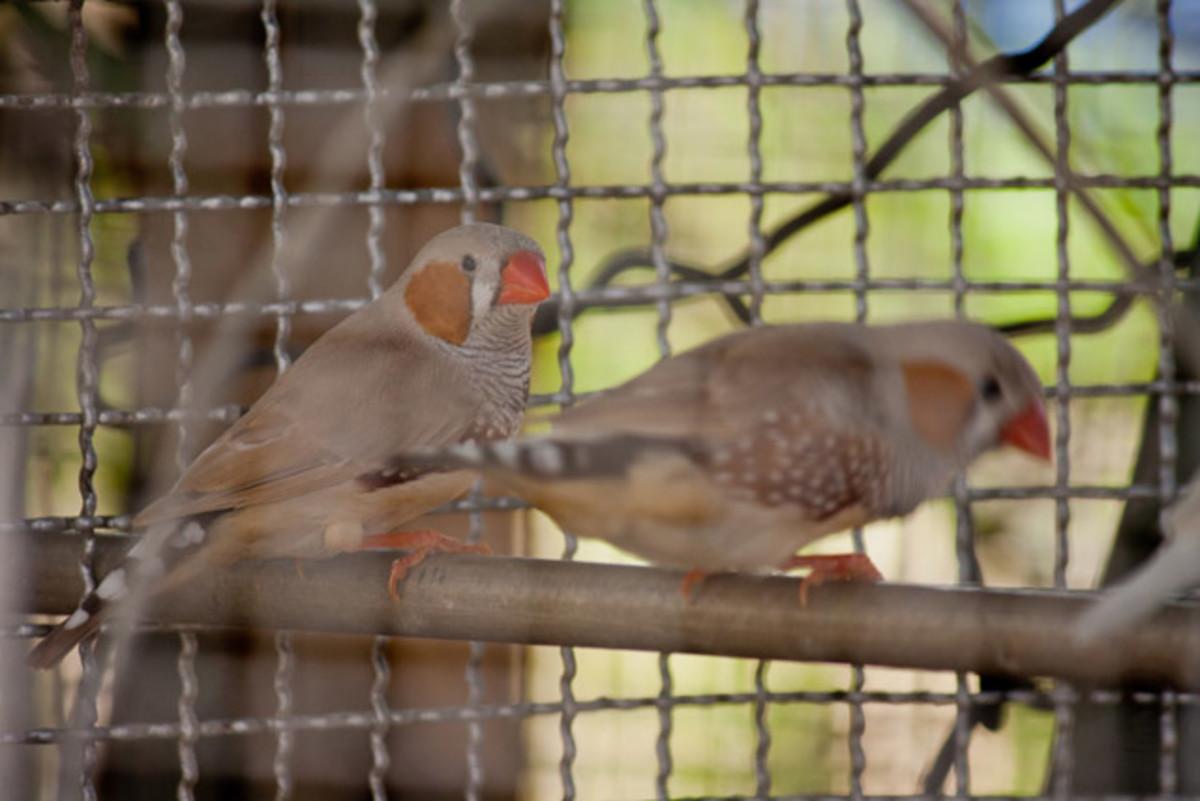 Birds Caged | Public Domain image from PDPics.com