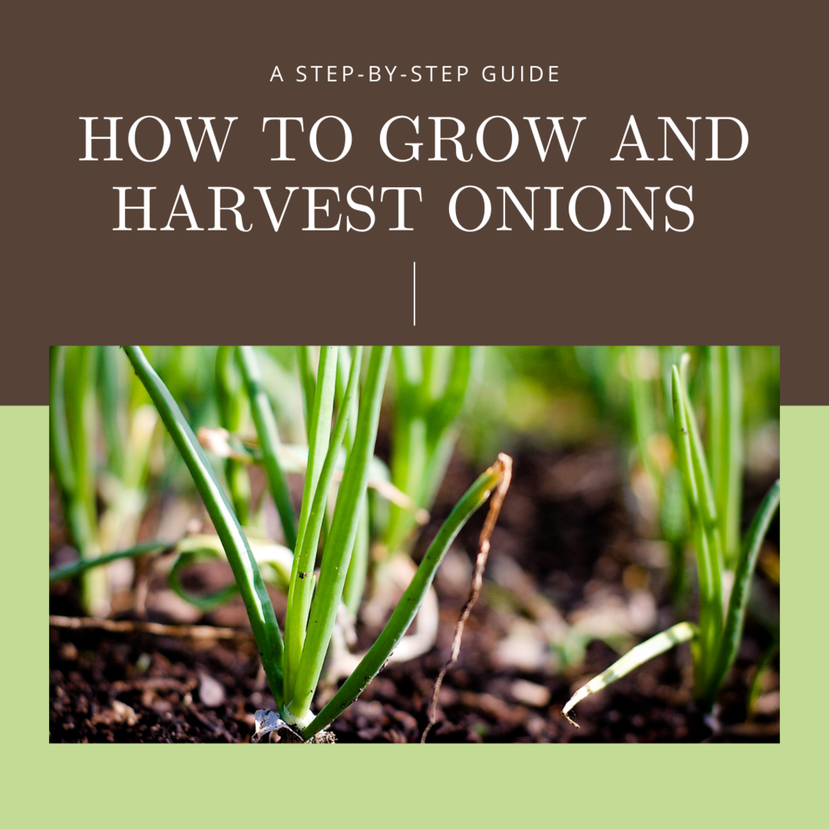 This guide will break down step-by-step the process of cultivating and harvesting green onions.