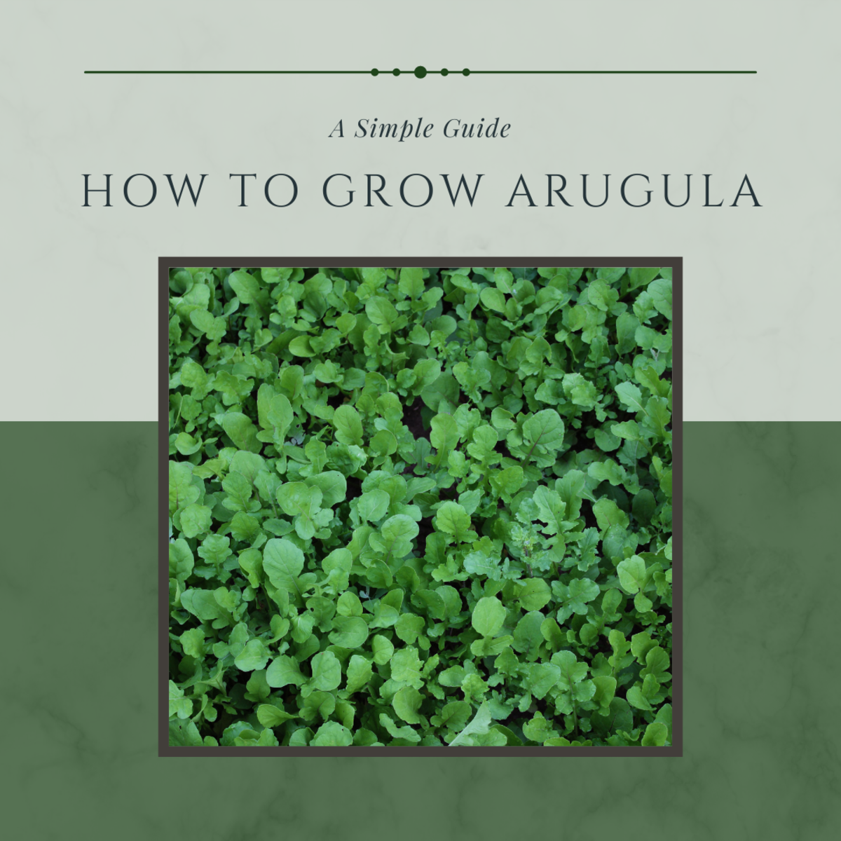 Tips From My Garden: How to Grow and Use Arugula
