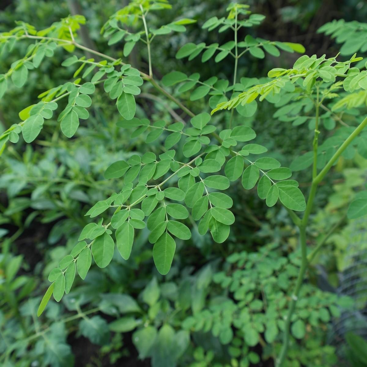 Moringa oleifera, the tree of life