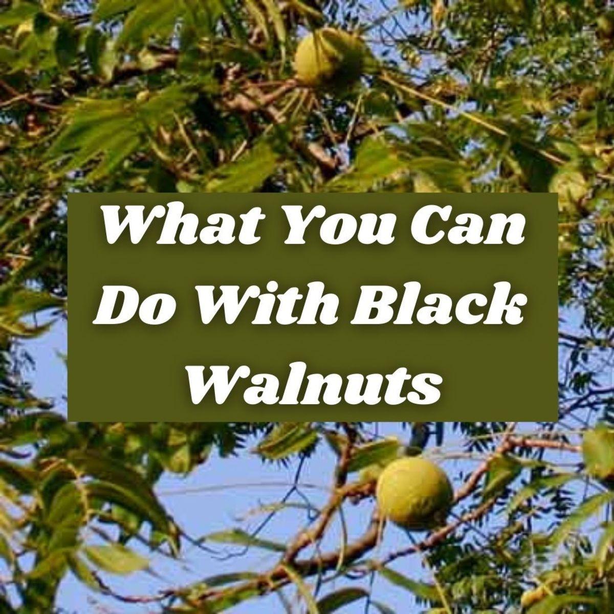 black-walnut-juglans-nigra