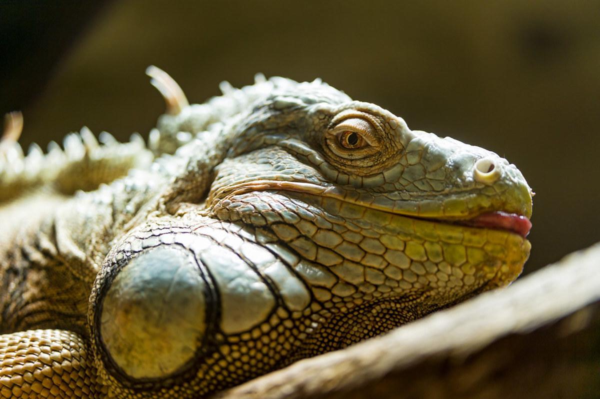 12 Causes of Sudden Death in Iguanas