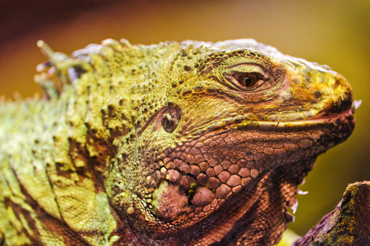causes-of-sudden-death-in-iguanas