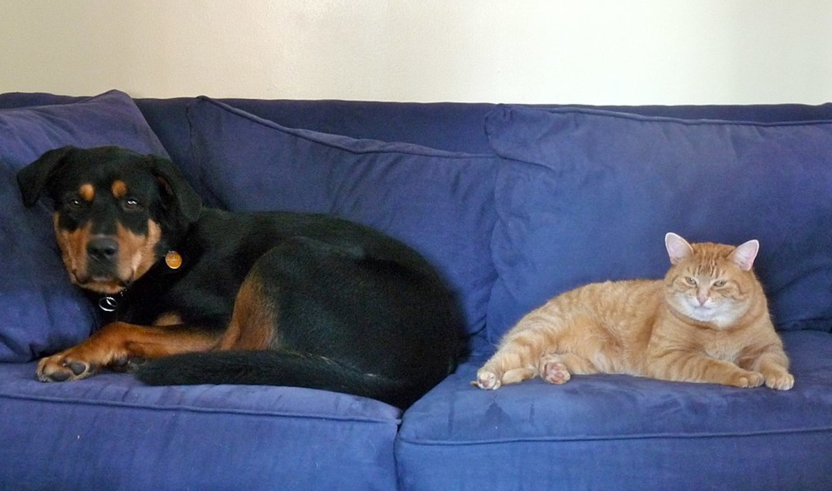 do-rottweilers-get-along-with-cats