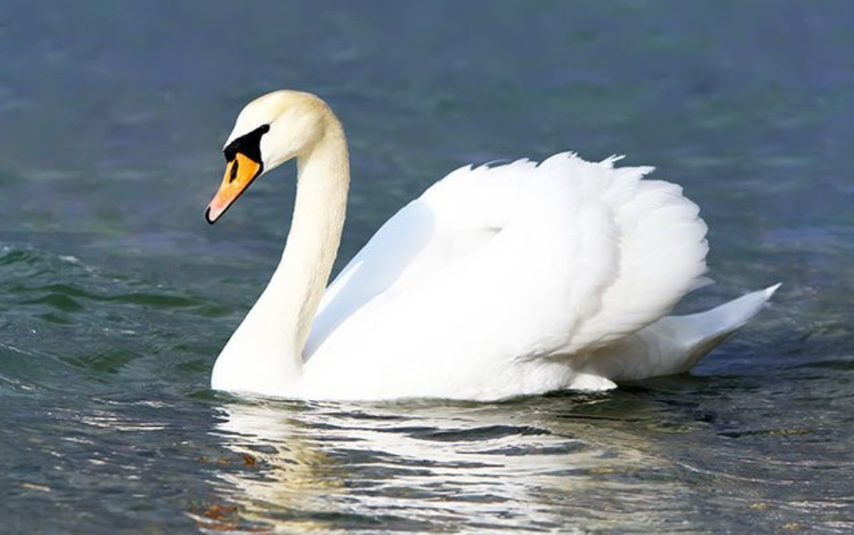 what-is-a-mute-swan
