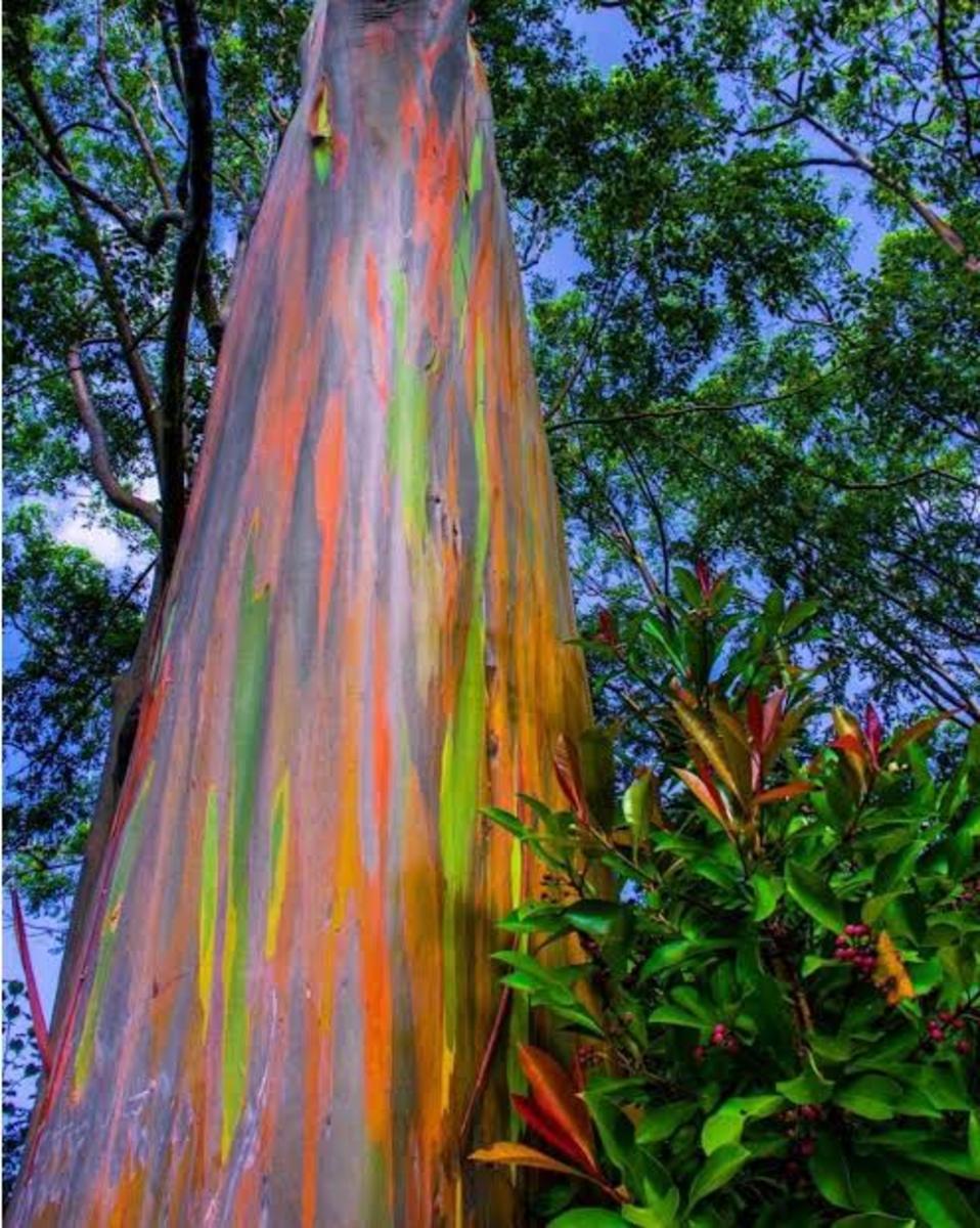 Rainbow Eucalyptus (Color Trees)