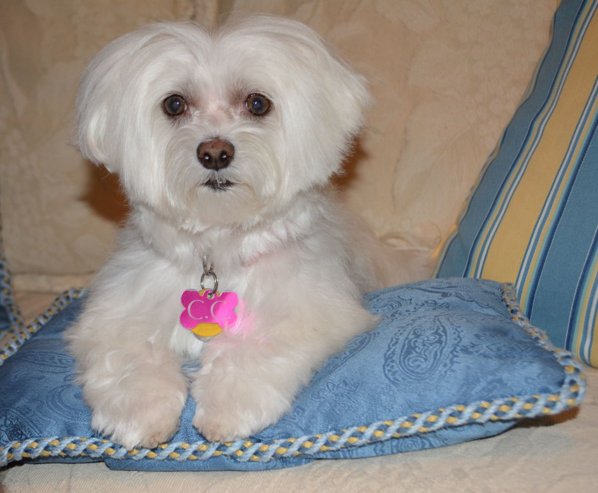 Living With and Caring For a Maltese Dog