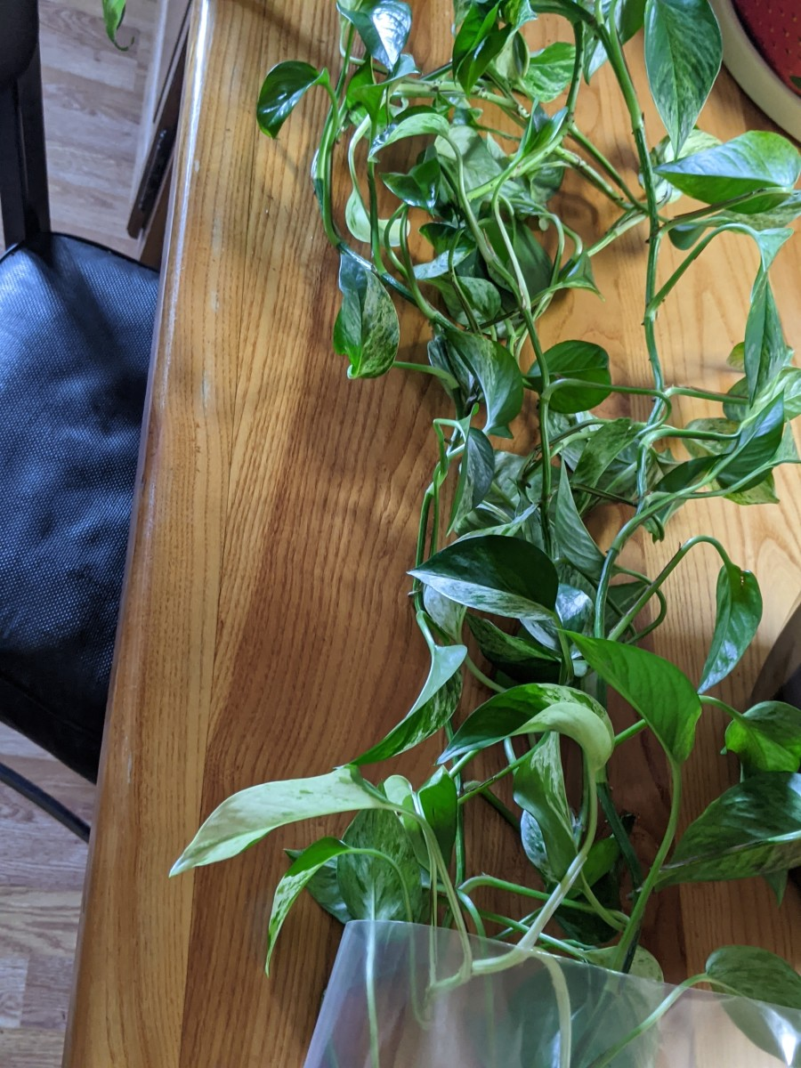philodendron-rescue-finding-a-home-for-the-unwanted
