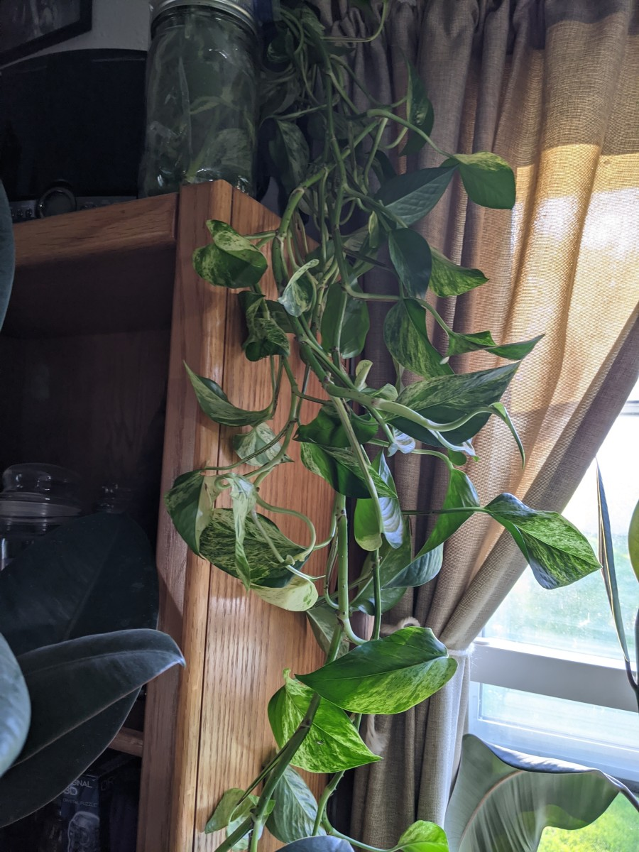 Tendrils hang down from rooting jar.