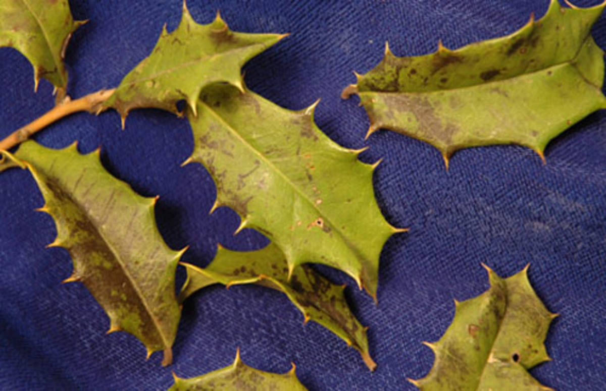 Chemical imbalance, root rot,  fungal pathogens and insects may lead to yellowing foliage and leaf drop.
