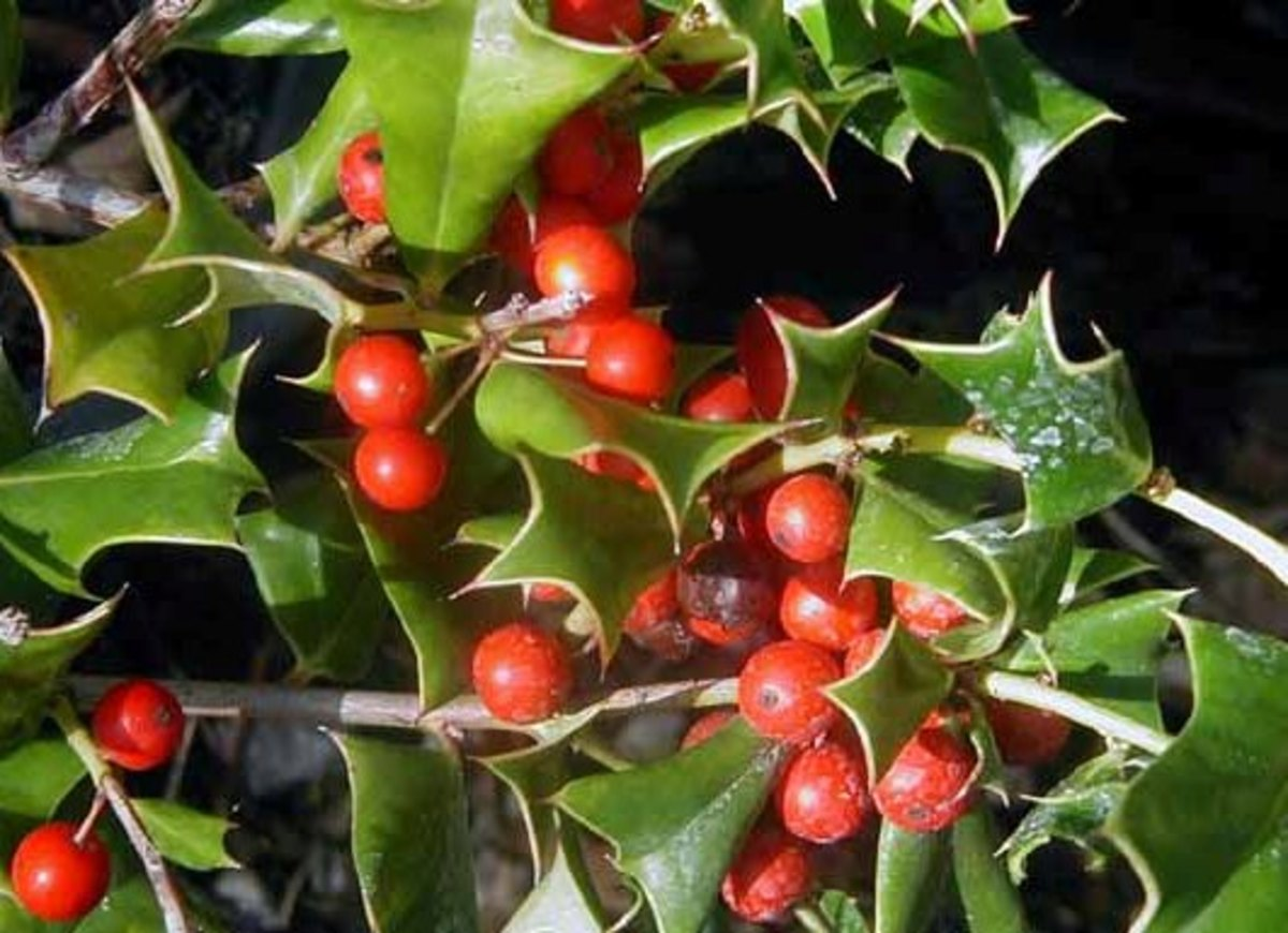 Planting & Fertilizing Chinese Holly