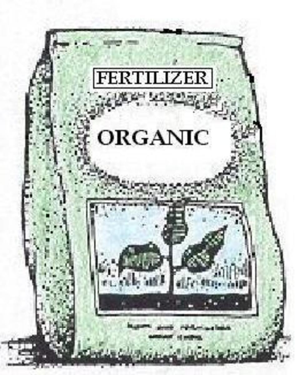 planting-fertilizing-chinese-holly
