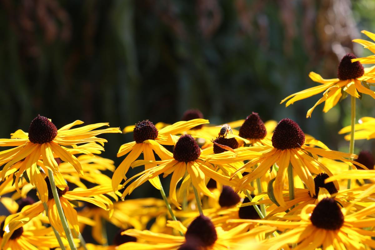 Black-eyed Susans' are bright and drought tolerant.
