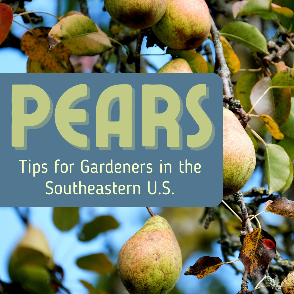 Pears can be tricky to grow. Get advice on soil requirements, pruning, training, pollination, and more.