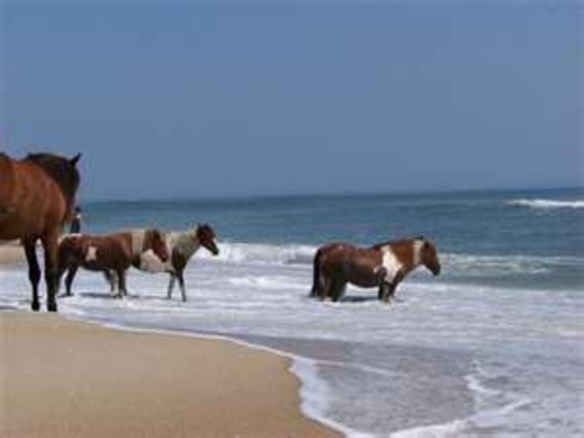 Feral Ponies at Assateague