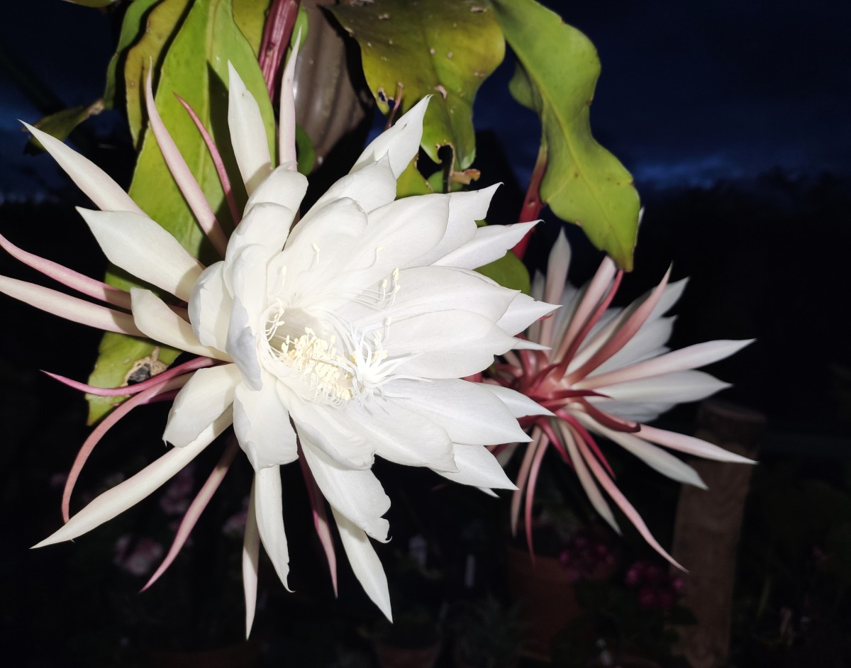 May your epiphyllum bring you many blooms and much joy!