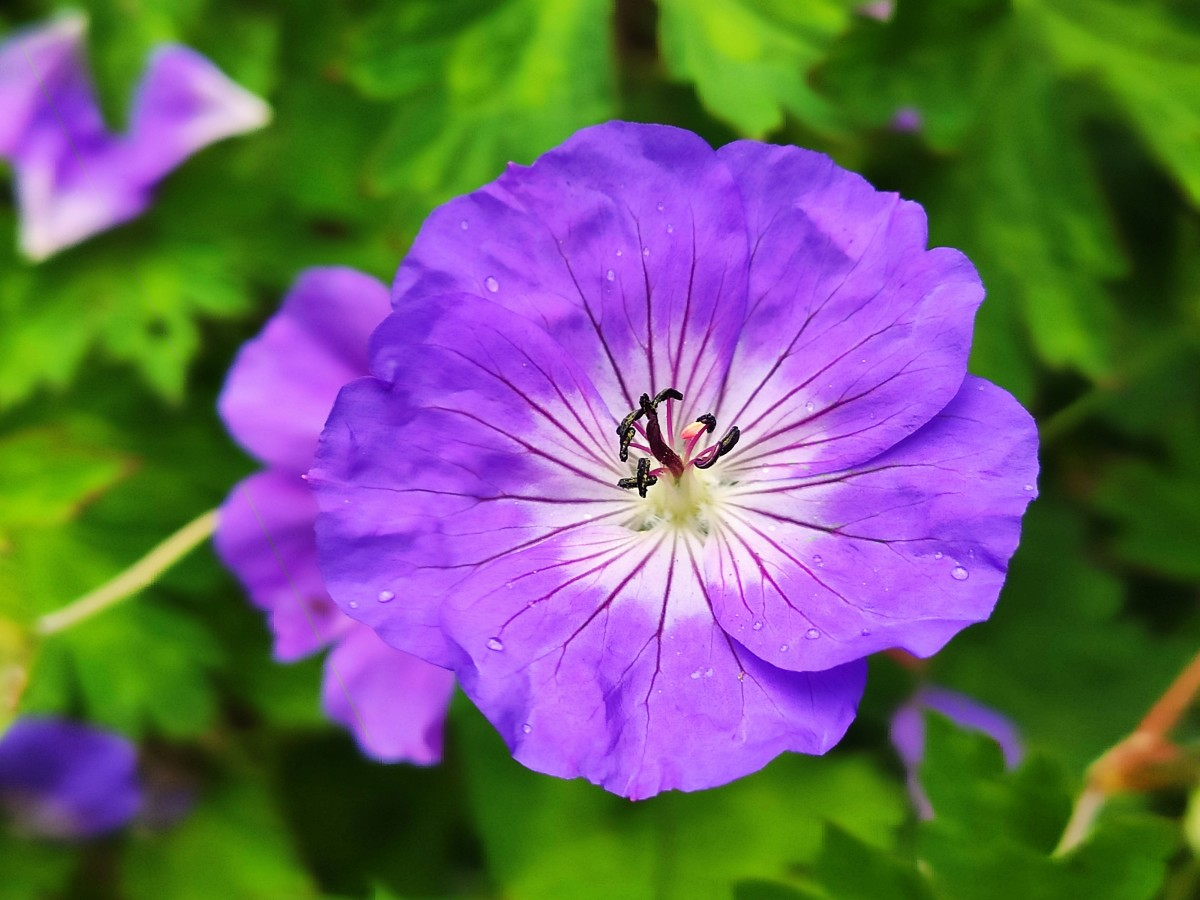 The violet-blue geranium 'Rozanne' is an excellent choice for almost any garden.