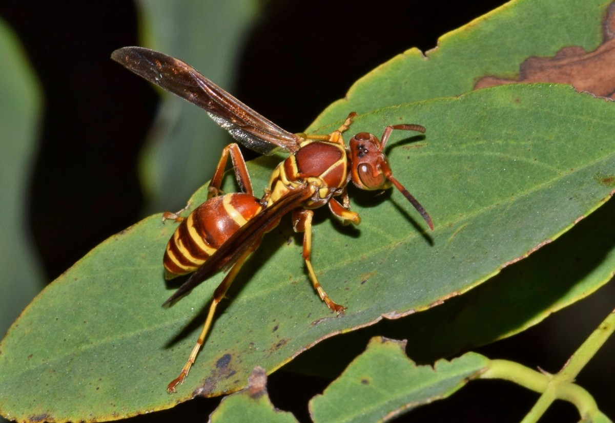 bee-and-wasp-identification
