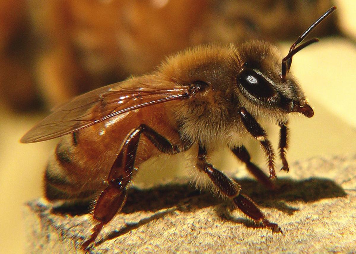 The common honeybee, Apis mellifera