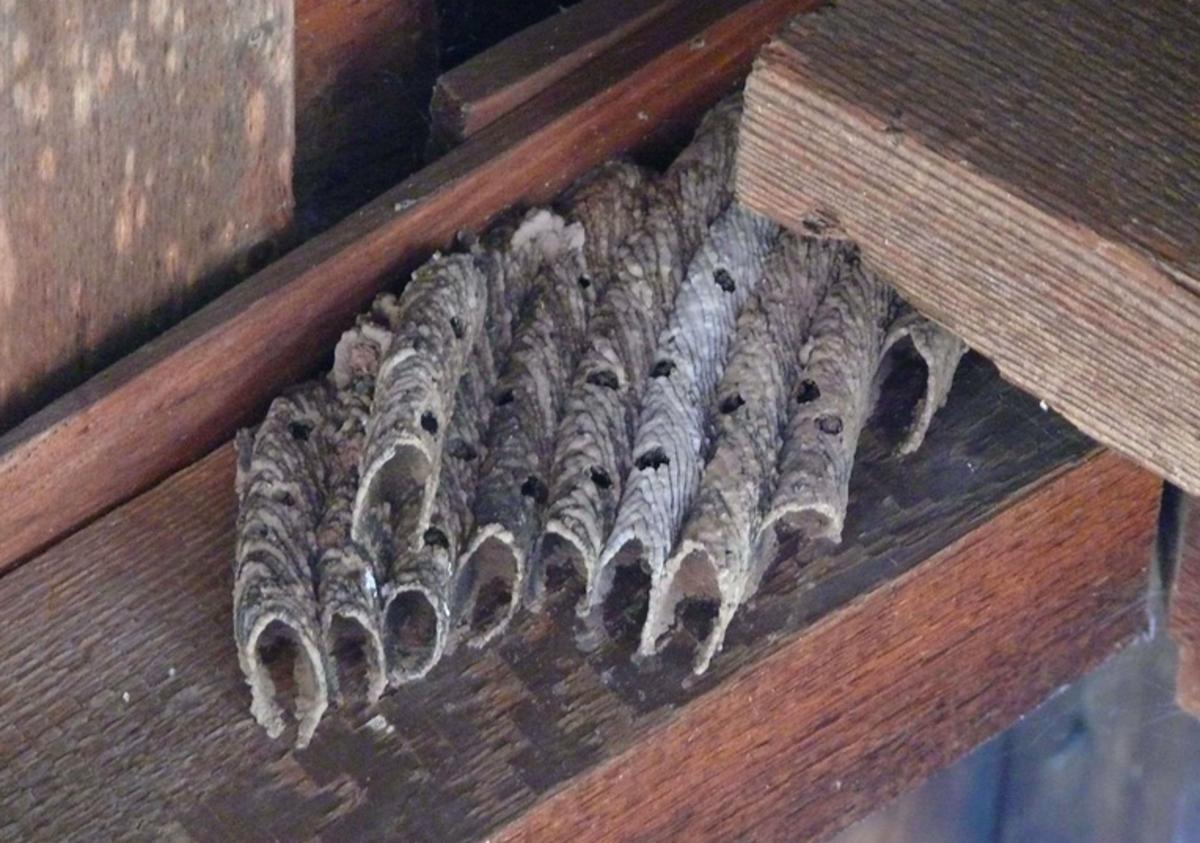 A mud dauber nest