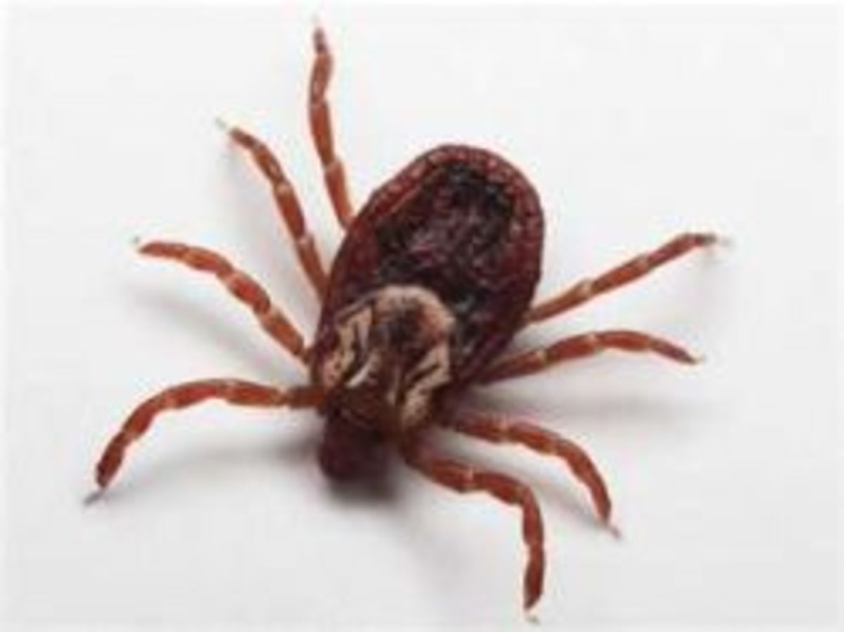 What Does a Tick Look Like and Where Do Ticks Live