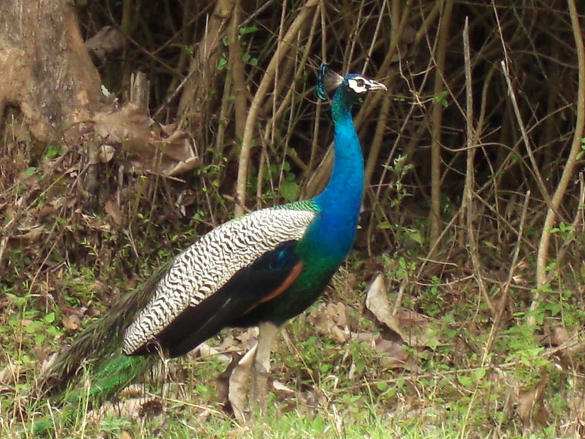 Peacock, the most beautiful bird in the world