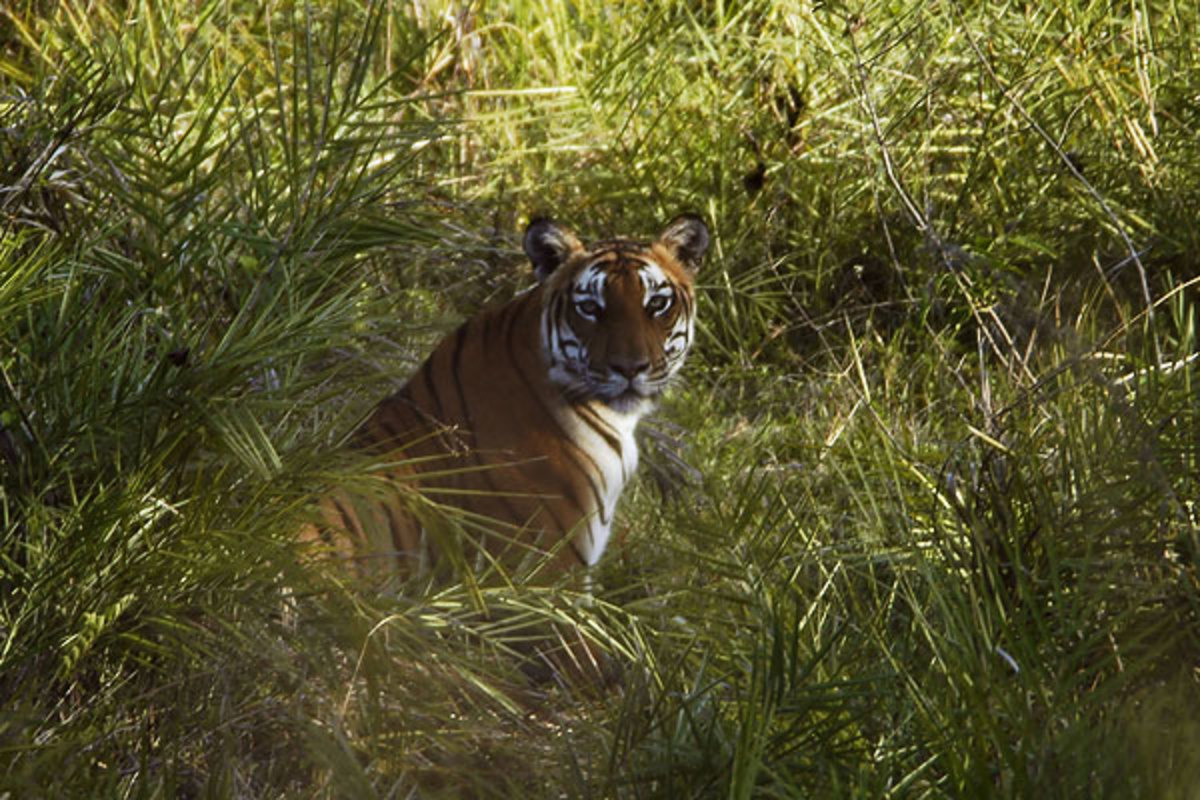 Tiger, the most awaited animal in the forest