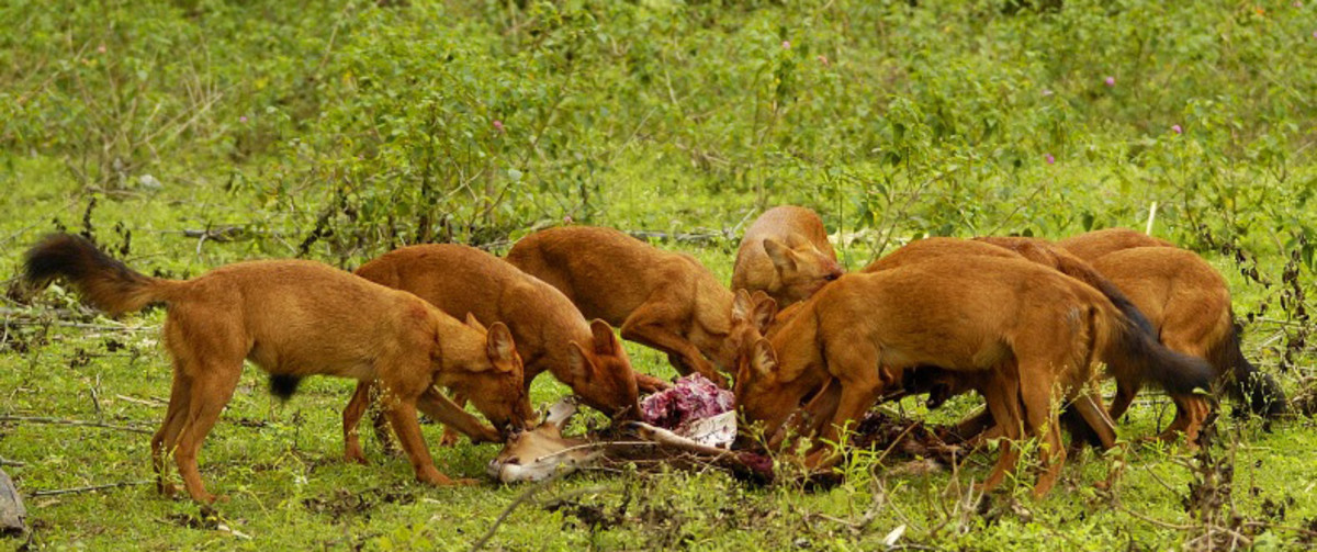 Dholes eating a Chital they had just hunted