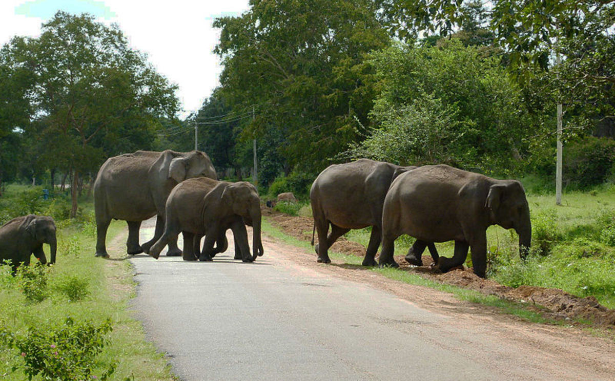 It is an interesting scene to watch the Elephants move in  group