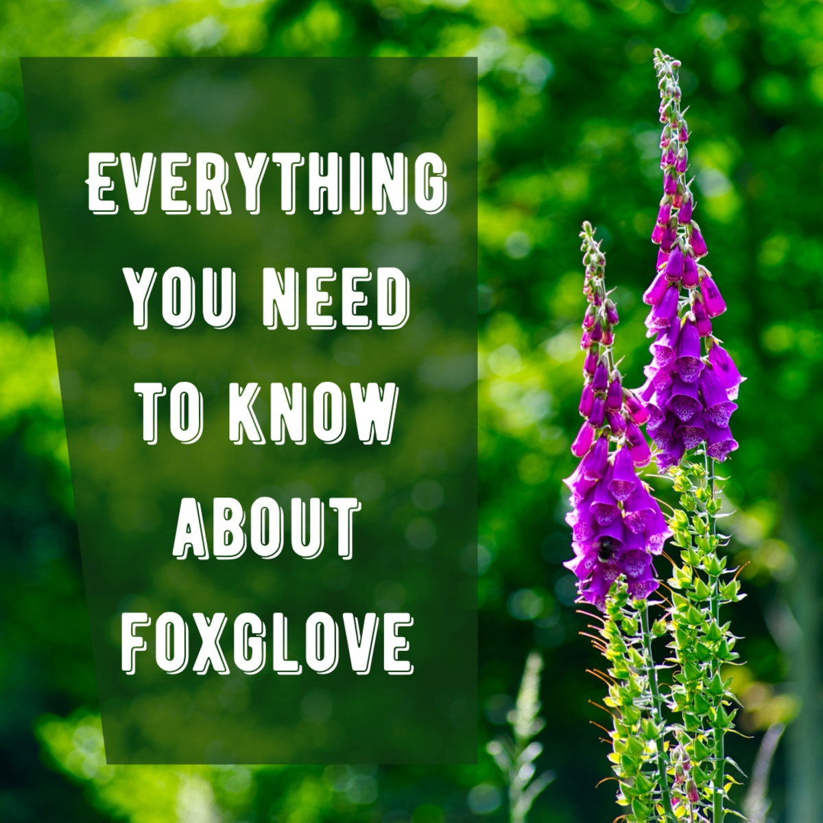 This article provides an overview of the foxglove plant, including tips for growing and garden applications