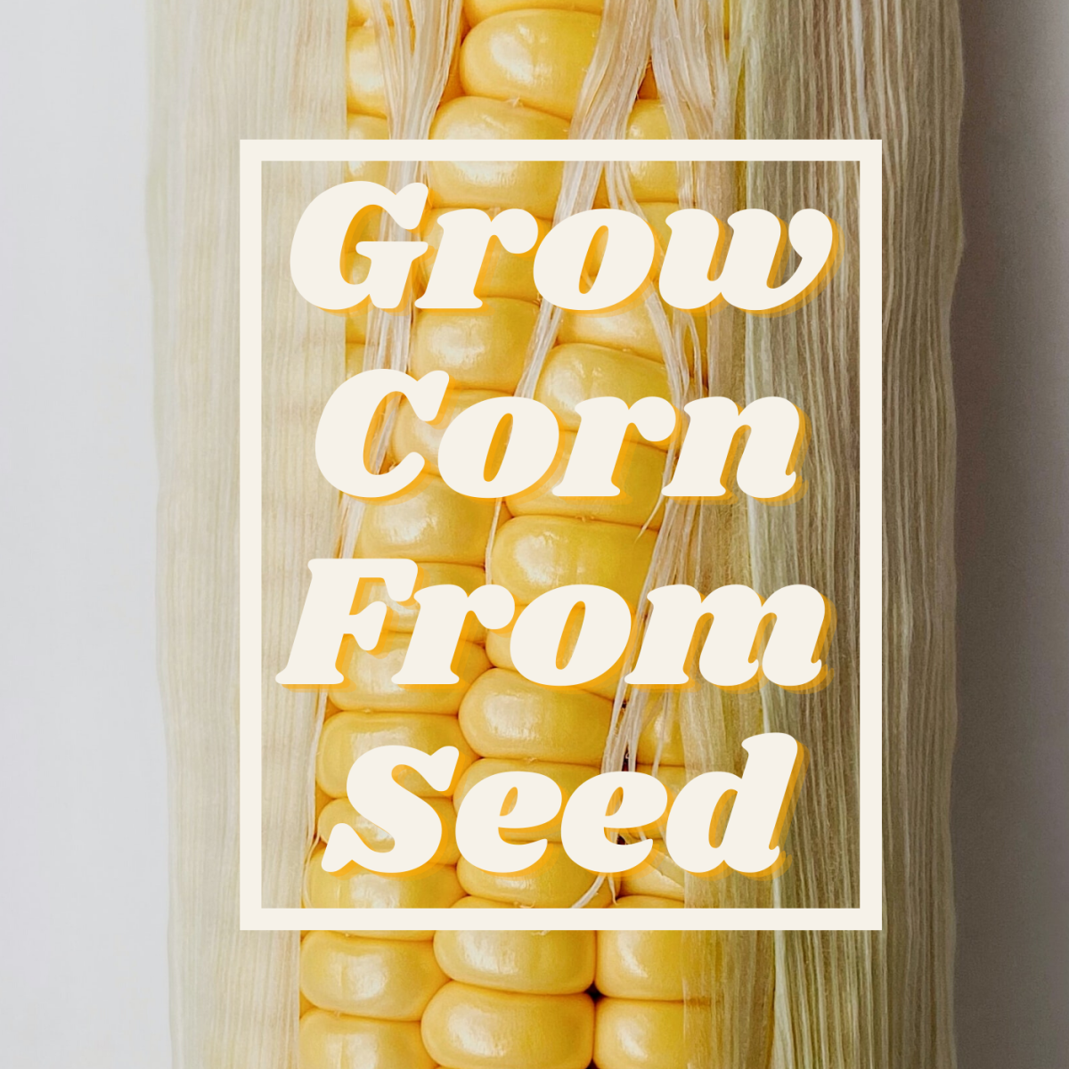 Learn how to grow corn from seed in your own backyard.
