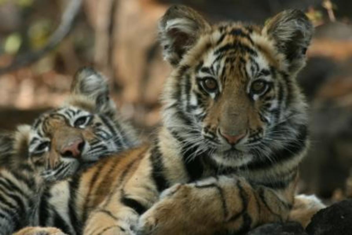 Tiger Cubs in Jungle