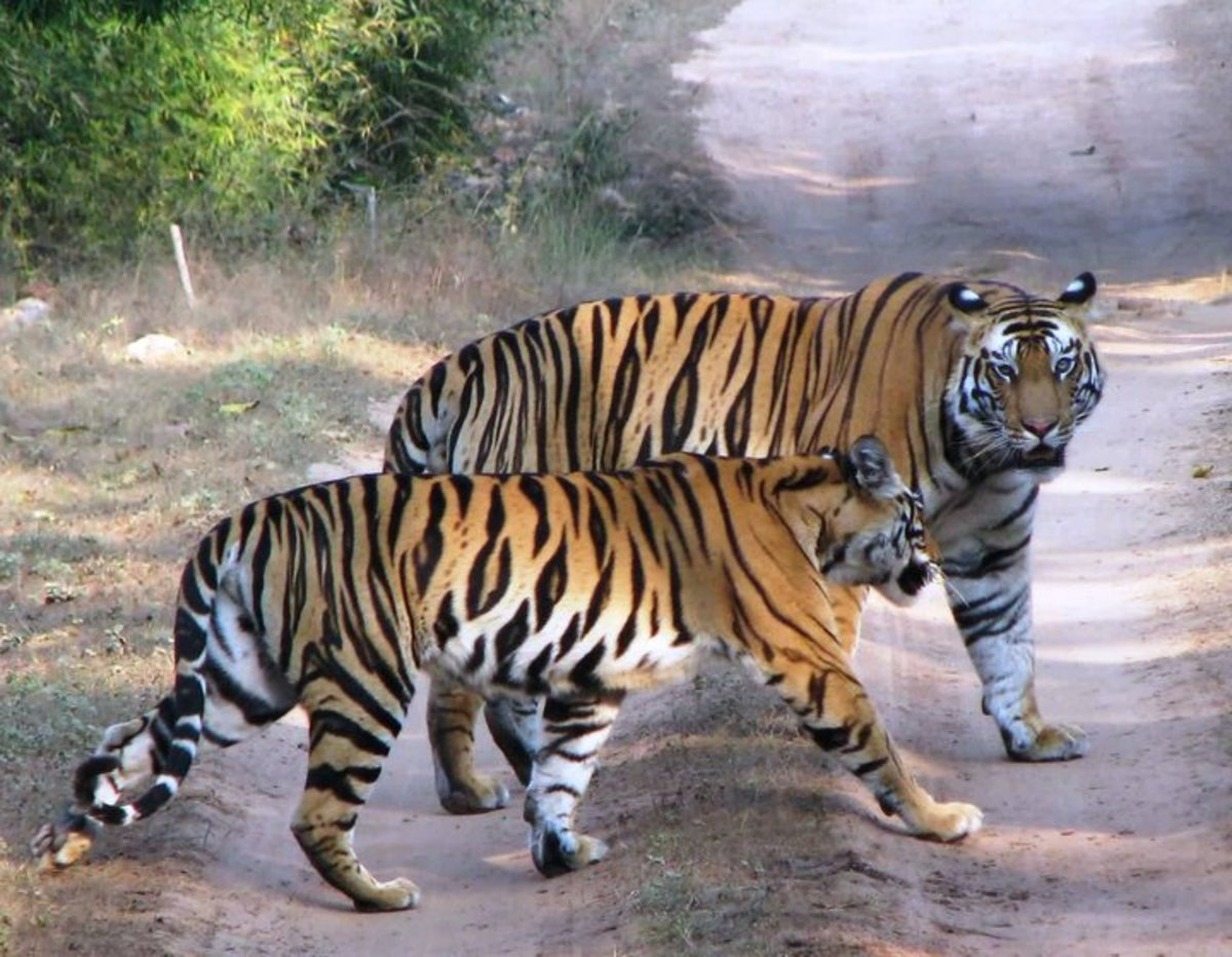 Male and female tigers about to mate