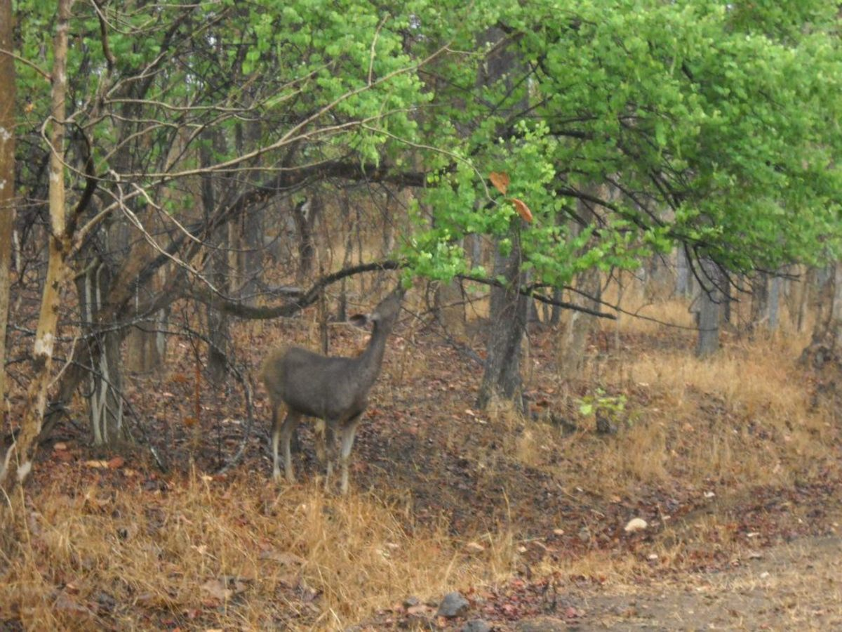 Prey Sambar Deer