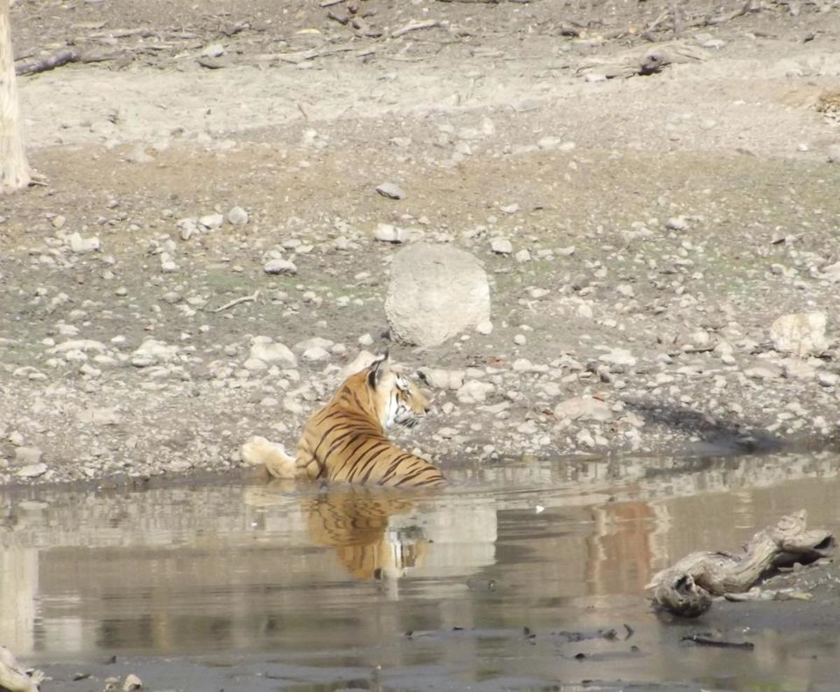 Tiger Relaxing in a water hole