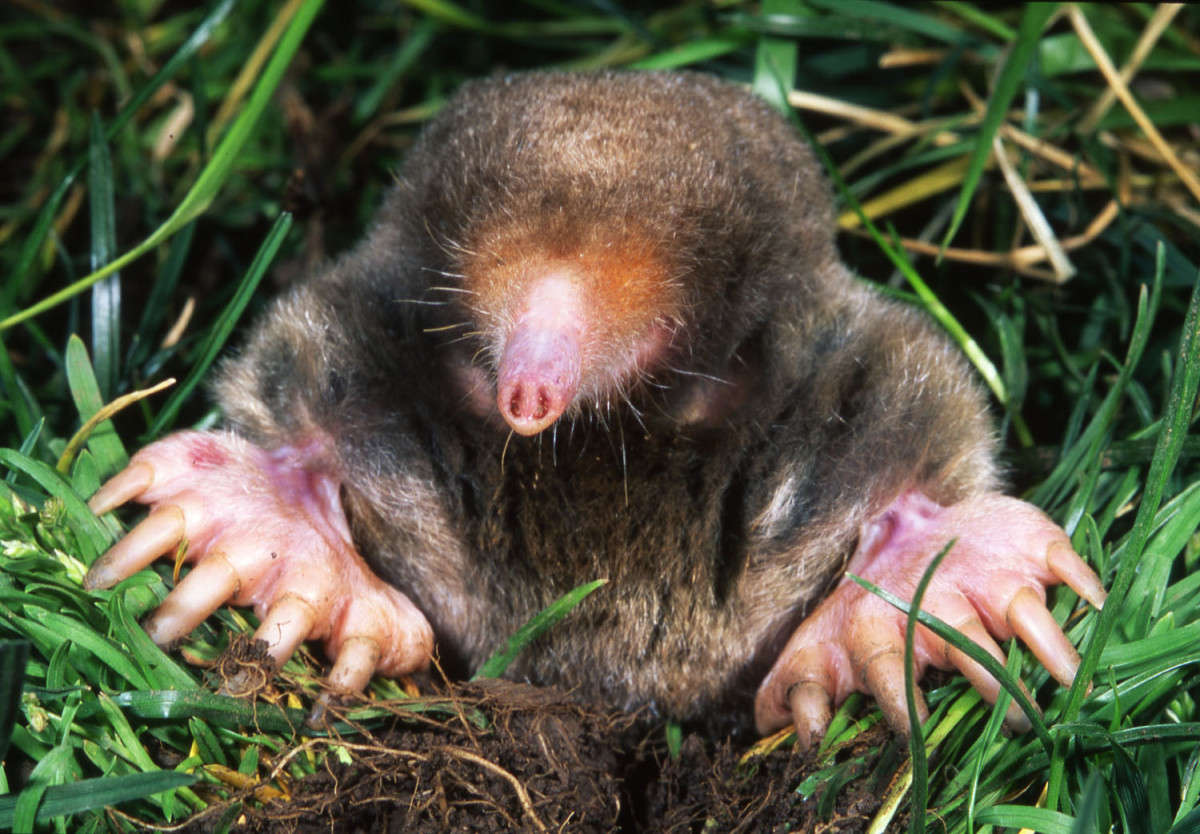 A mole is a small mammal with short, powerful front paws designed to dig outward.
