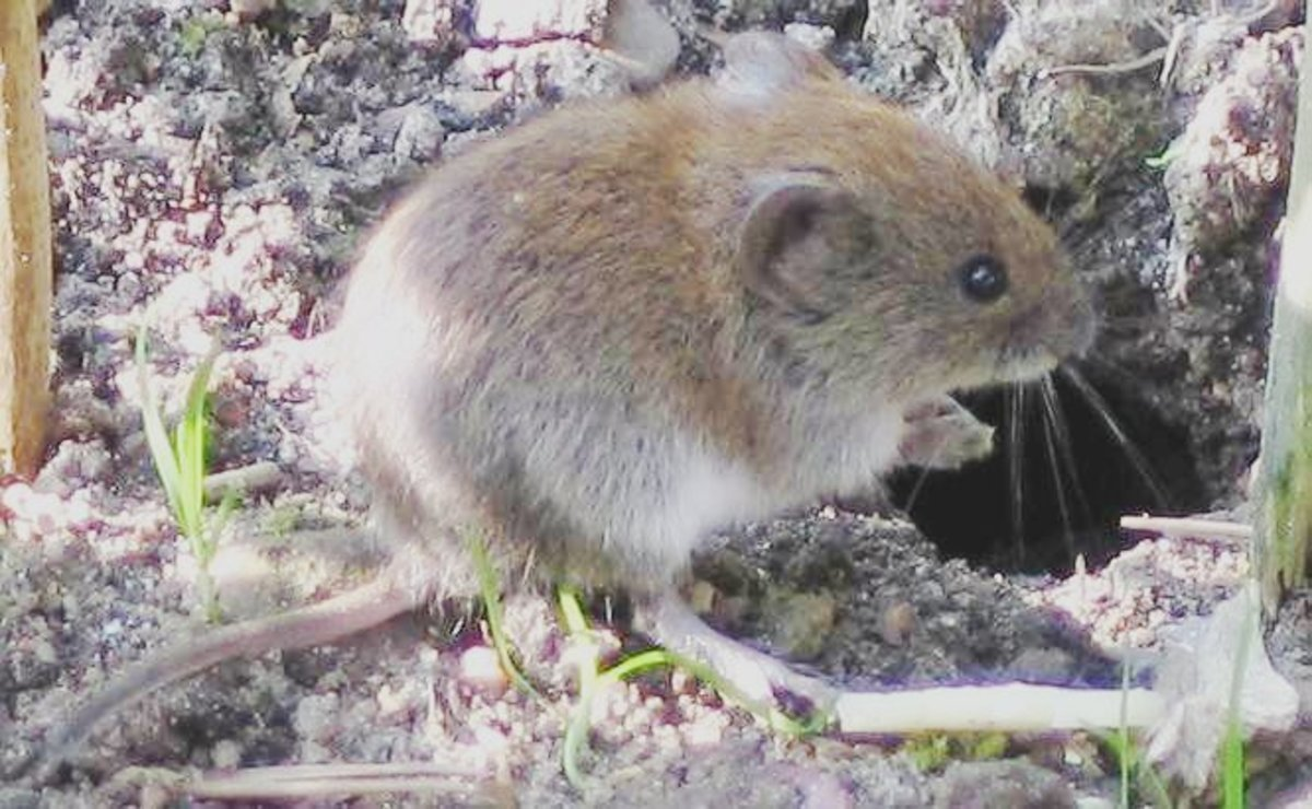 A vole is a type of field mouse although some are found closer to water than field mice would be.