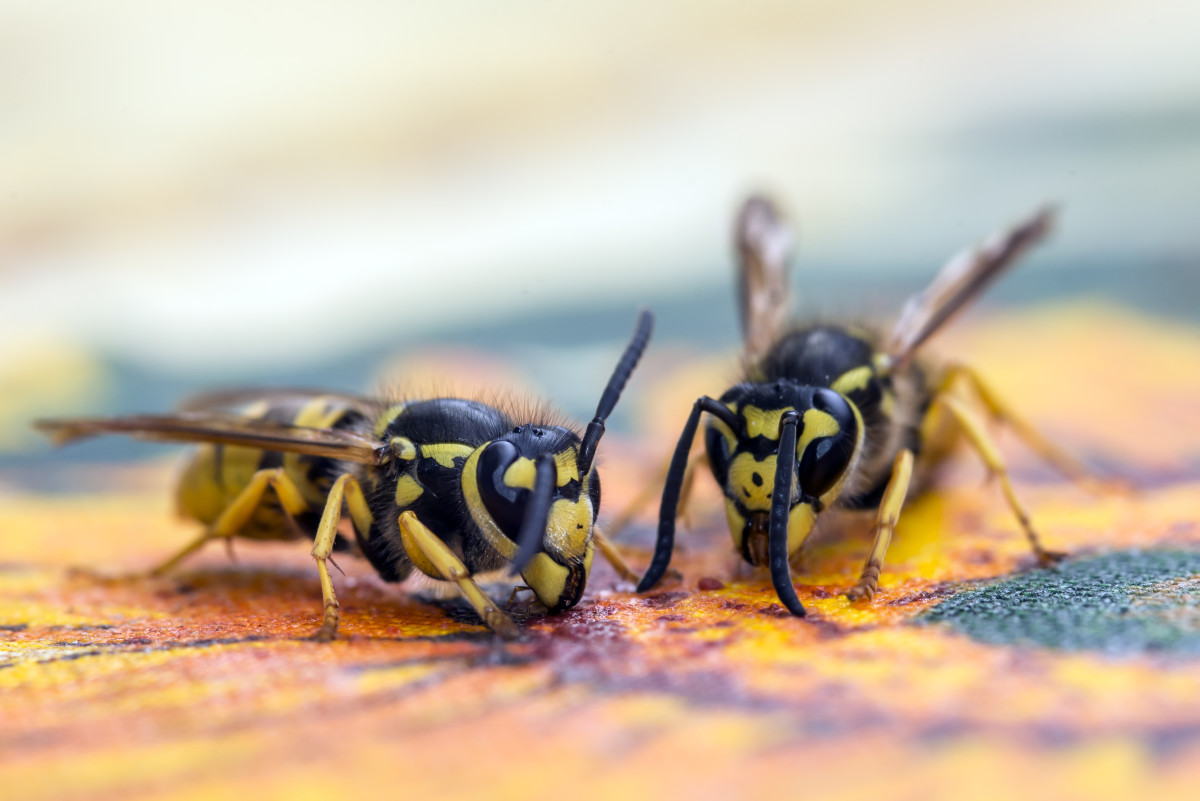 Learn how to use a bottle to trap wasps.