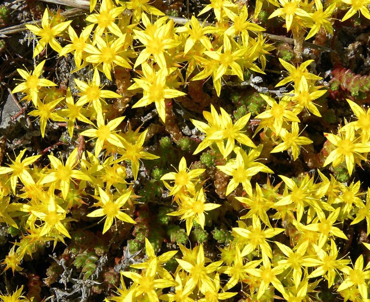 Gold Moss Stonecrop