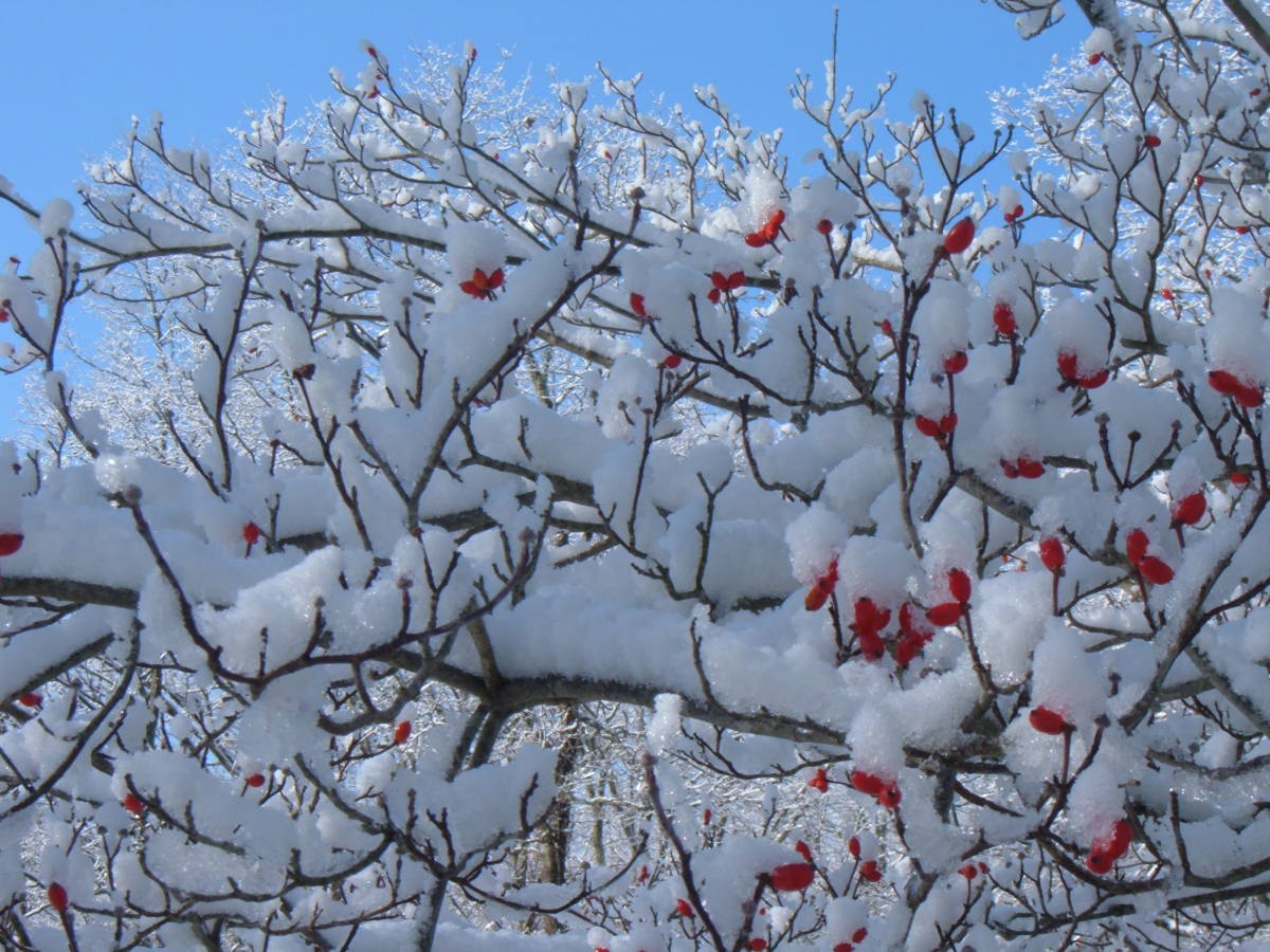 Bright red berries contrast against the fresh snow