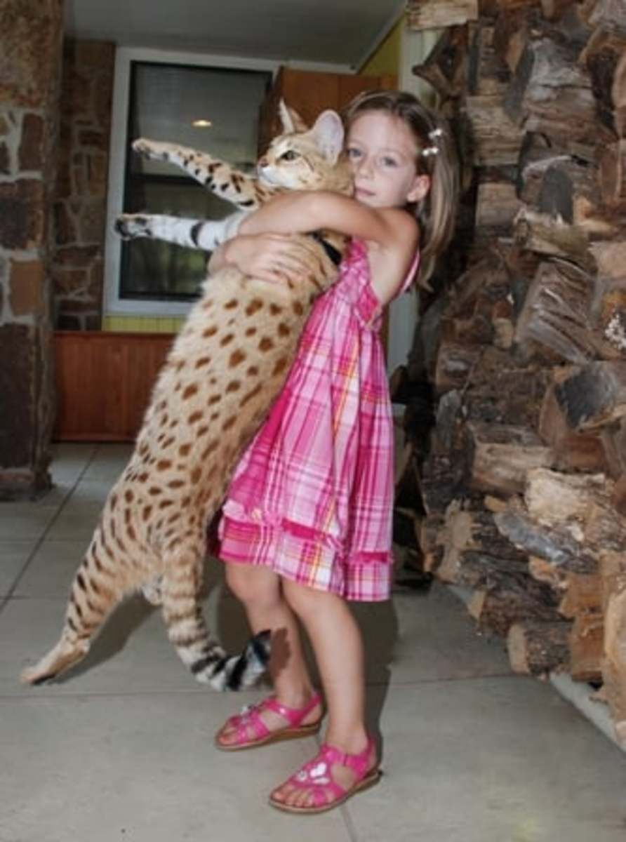 Savannahs, A new Crossbreed Cat from an African Serval and a domesticated cat.