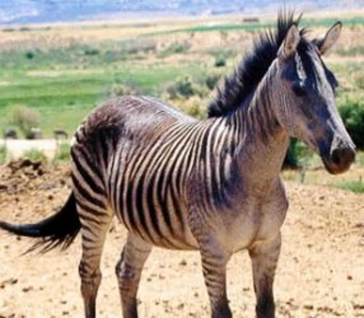 A zorse is the result of crossbreeding a horse and a zebra. A zonkey is the result of crossbreeding a donkey with a zebra. The Zony is the result of crossbreeding a pony to a zebra. All these three are called zebroids - defined as a cross between a z