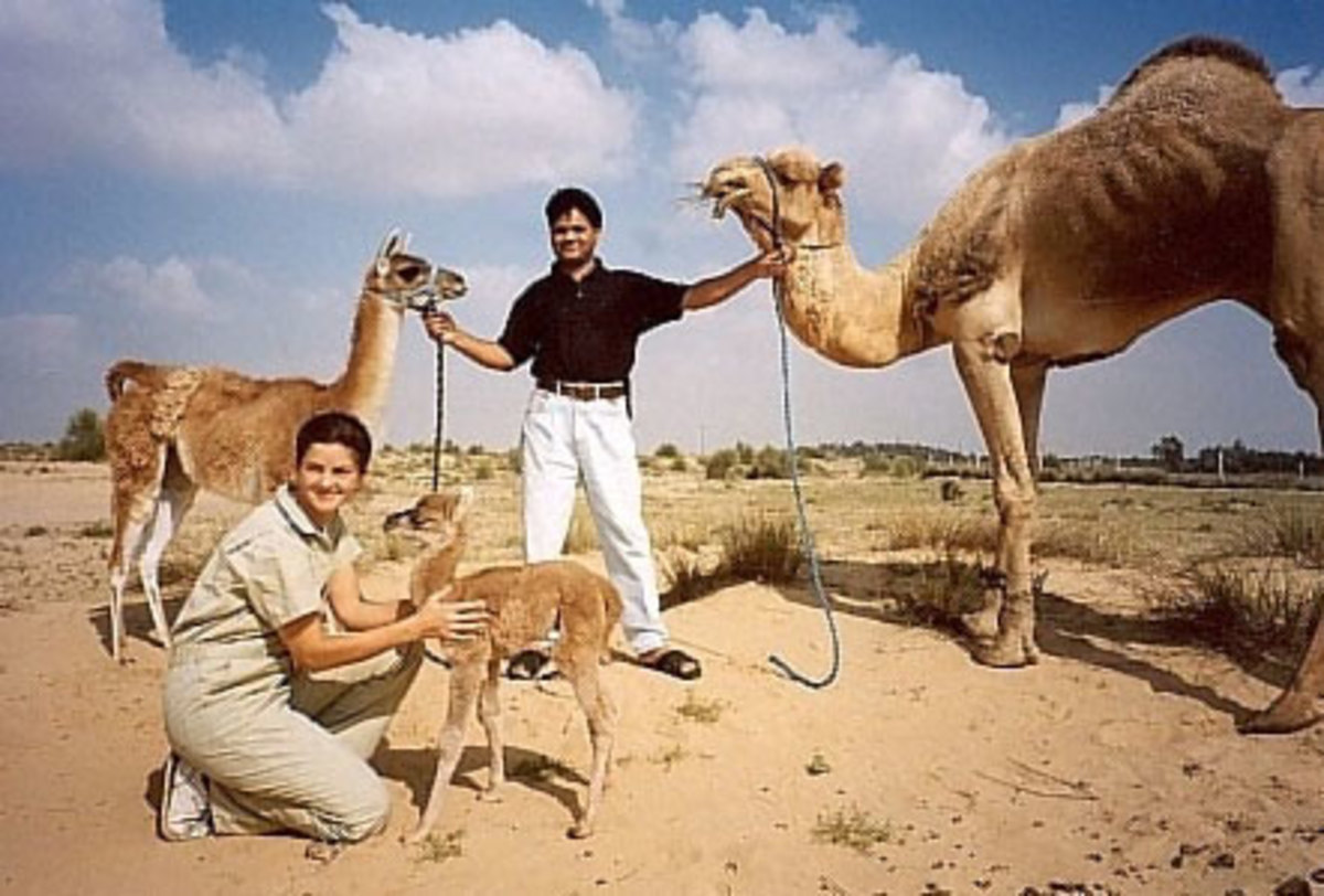 A Cama is a hybrid between a camel and a llama. They are born via artificial insemination due to the huge difference in sizes of the animals which disallow natural breeding. A Cama usually has the short ears and long tails of a camel.