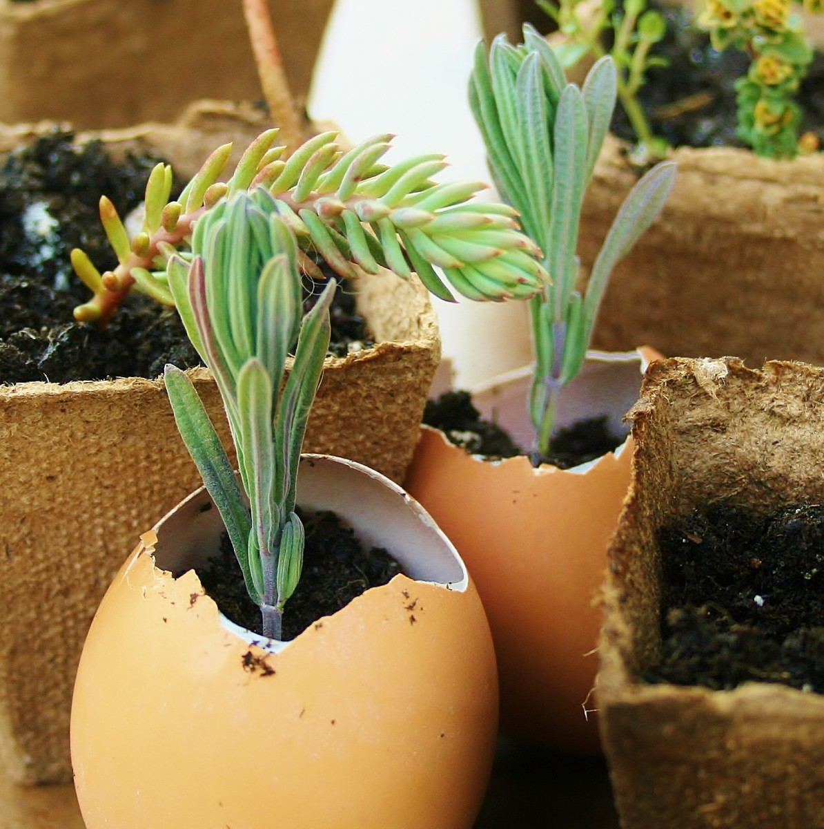 Last spring, we started lavender, rosemary & various succulents from cuttings in peat pots and eggshells.