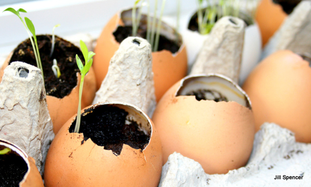 Eggshell pots and other pots that rot make start seeds and transplanting seedlings easy.