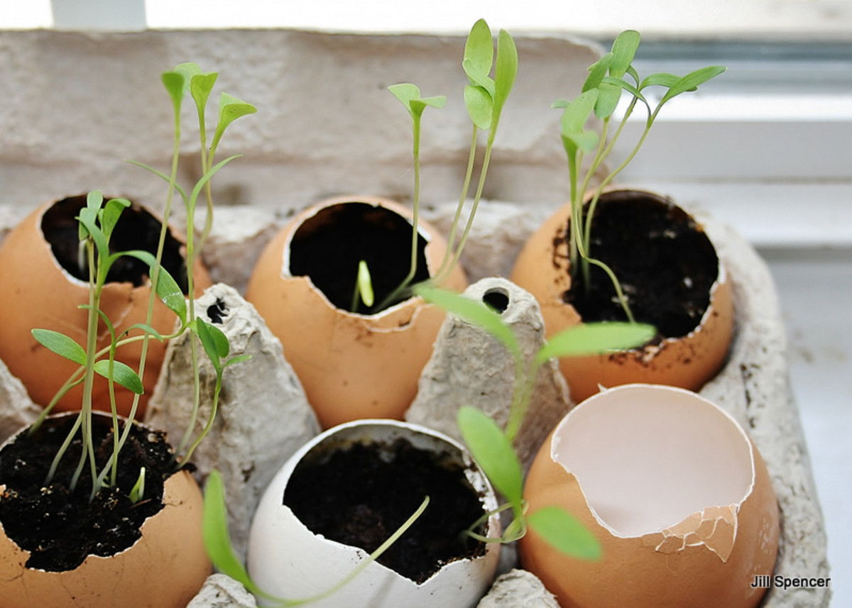 I like to leave one eggshell empty so that I can use it as a makeshift watering can.