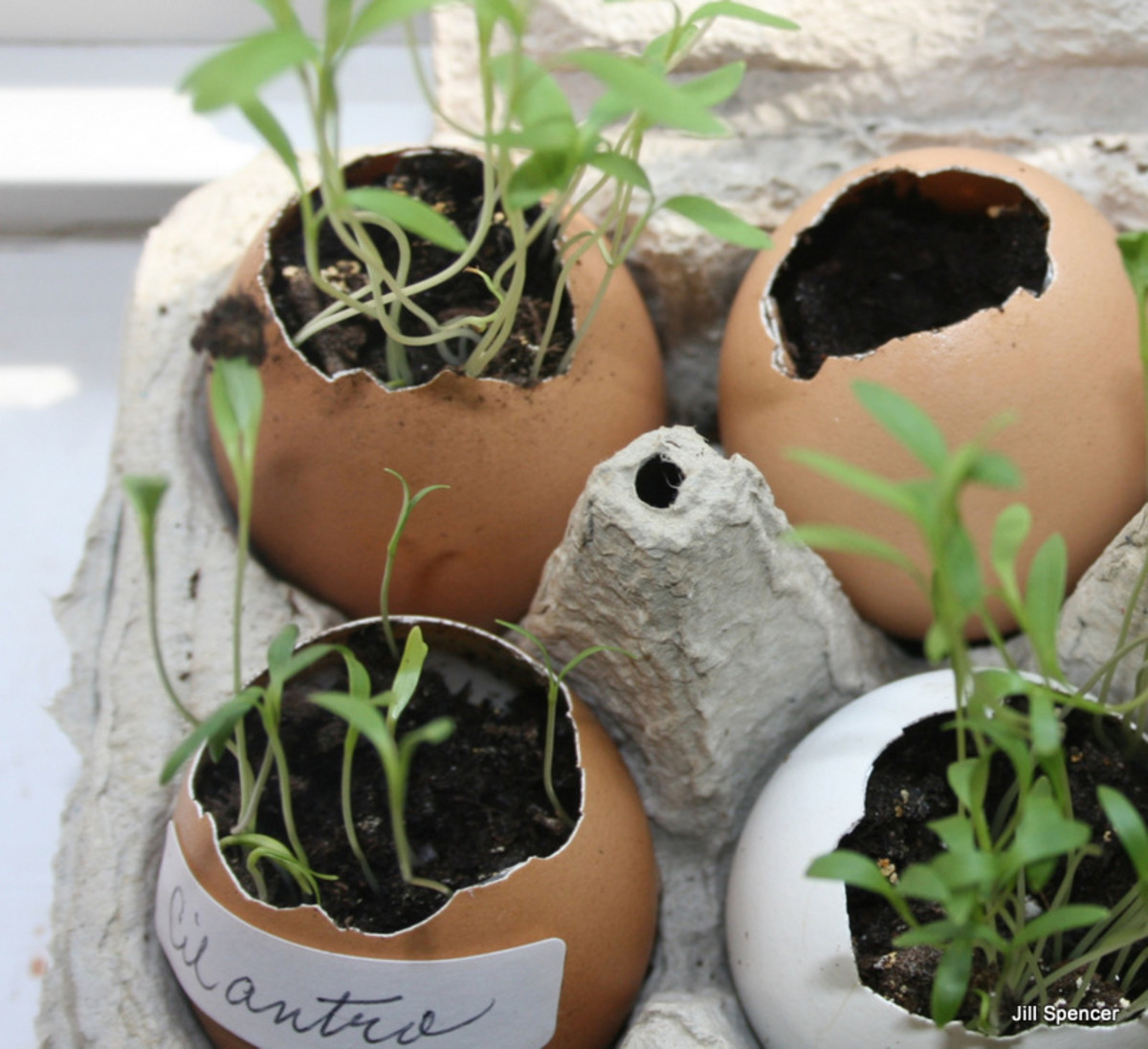 These eggshell pots hold cilantro seedlings.