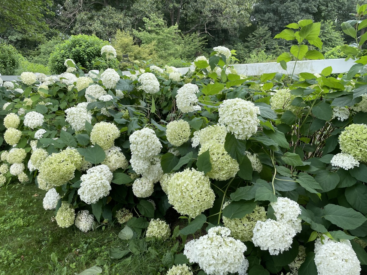 Don't flip if your hydrangeas have flopped. There are a few super easy ways to fix this problem (and prevent it in the first place).