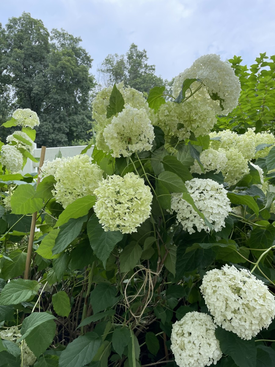 If you look closely, you'll see a wooden dowel and some twine supporting these hydrangeas.