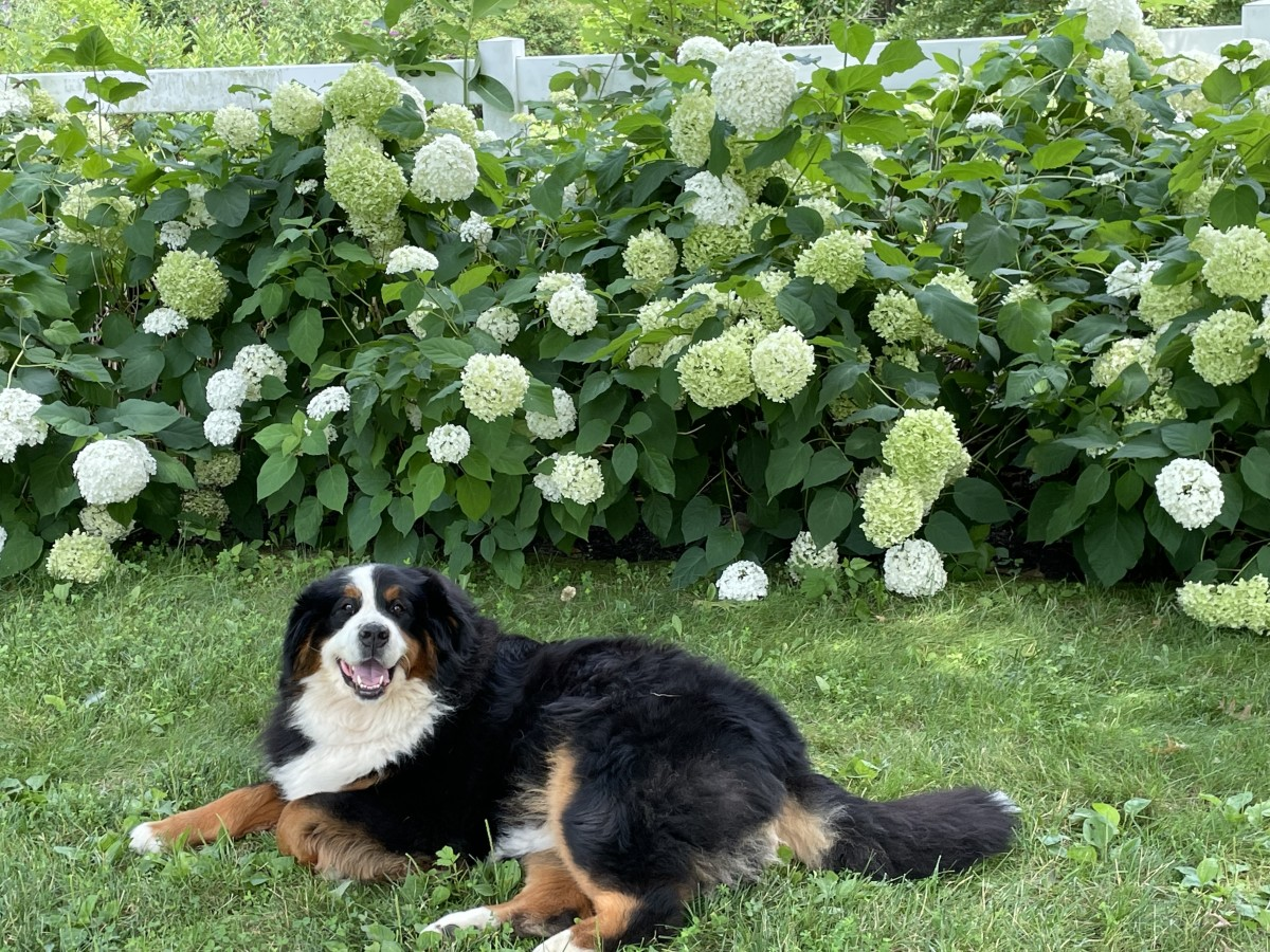 Lucy enjoying some R&R in front of our Annabelle hydrangeas.